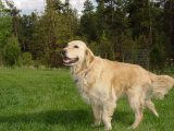 Acupressure helps golden retriever take to the skies!